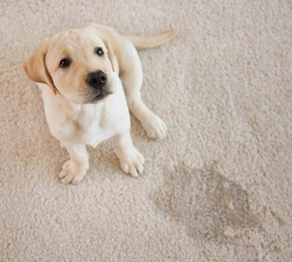 pet stains and odor